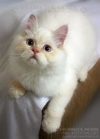 Flame Point Himalayan Cat 4 by Kumiko-Art