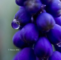 Grape Hyacinth IV by thriftyredhead