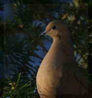 Mourning Dove by barcon53
