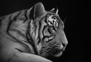 2010 'Tiger'' - pencil on paper by sameoldkid