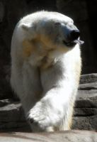 Alaskan Polar Bear by HippieVan57