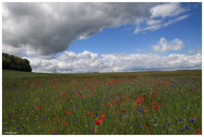 Poppies and cornflowers field by oxalysa