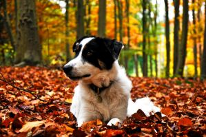 Archie Border Collie Autumn by LW-M-E-D-I-A