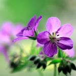 Purple by Angie-Pictures