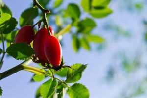Sunlit Rosehips by sztewe