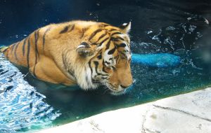 Amur Tiger Stock 3 by HOTNStock