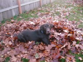 Chocolate Lab-In Leaves by EumyCookie