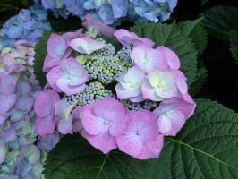 Hydrangea Bunch by Ellendar