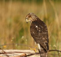 Young Coopers Hawk  pic 3 by natureguy