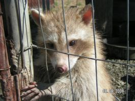 Rocky the blond raccoon by stargatefan35
