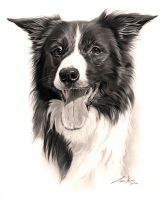 Commission - Border Collie 'Miss JD' by Captured-In-Pencil
