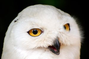 Snowy Owl Close-Up by Manu34