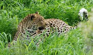 Leopard by AfricanObserver