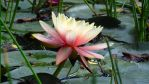 Water Lily (HD Wallpaper) by Pimpernel