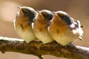 Swallow chicks by jmbamboosumi
