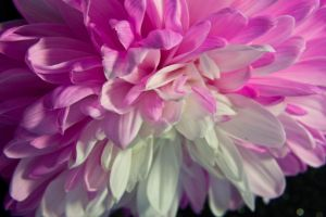 Pink and White Mum 4 by OneLittlePixel