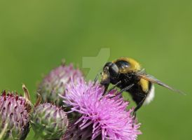 wanna-bumblebee... by clochartist-photo