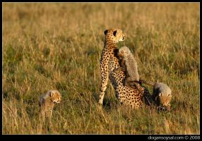 CHEETAH FAMILY by dogansoysal