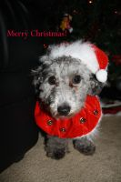 Dante the Christmas poodle by Mab-overthrown