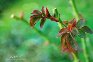 Rose leaves by leeri