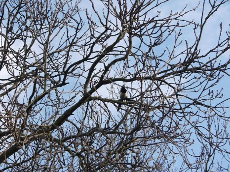Magpie in tree by BFG-Stock