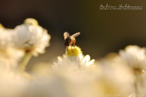 Insect by Pebels