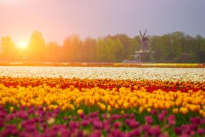 Tulip fields by parampam