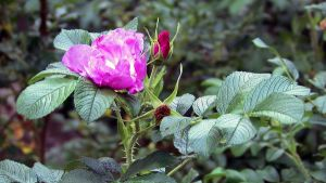 Wild rose by lordfreedom