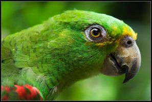 About The Parrot by IgorLaptev
