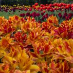 13-05 tulip field #2 by evionn