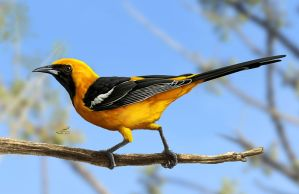 Hooded oriole by albertoguerra