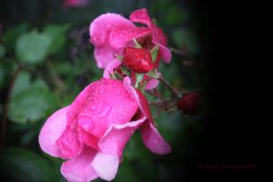 Rain and Roses by Cia81