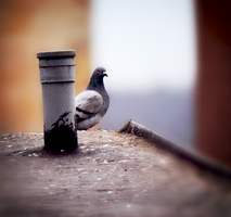 Pigeon by FeelinThis