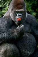 Gorilla - tomato smile by Seb-Photos