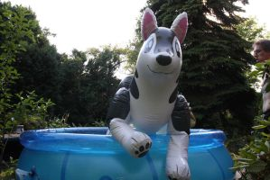 big husky in the pool by schorse1000