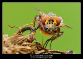 Ectophasia crassipennis by SelvaggioRocker