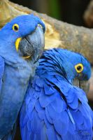 Blue Macaw by ShineeDragon
