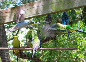 More flying budgerigars by Seralunai