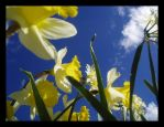 MM: Daffodils by PopClicK