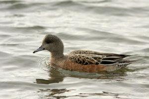 Female American Wigeon by queegqueg