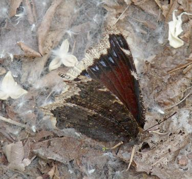 Brown butterfly by PUBLIC-DOMAIN-PICS