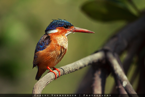 Malachite Kingfisher by Solrac1993