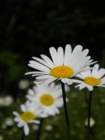 Oh my daisies by Stock7000