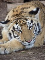 Honey the Tiger 2 by VisibleBeauty
