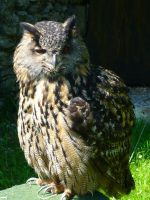 Eagle Owl 4 by DuskDreamscapes