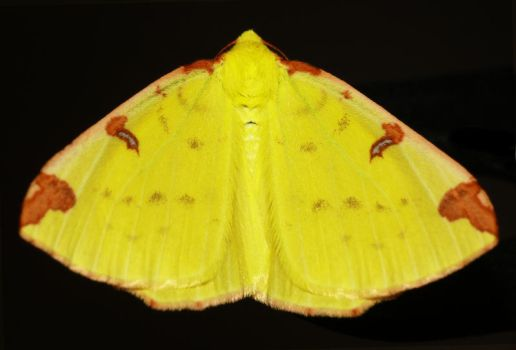 Moth - Wings by jharkn
