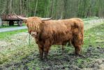Highland Cattle 3 by gestandene