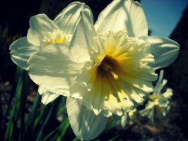 Narcis... Opet - A Daffodil... Again by Melops1ttacus