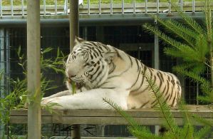 White Tiger, Interesting Face by Track-Maidens