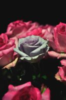 Rose among roses by Levein